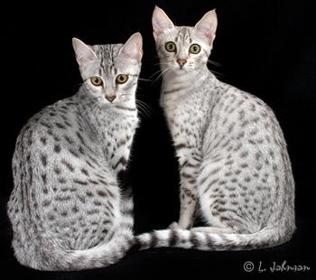 KarMau cats Kasha Kassidi and Fancy